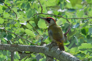 Male green woodpecker on a tree branch