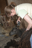 Sheep shearing woman shears a Welsh Black