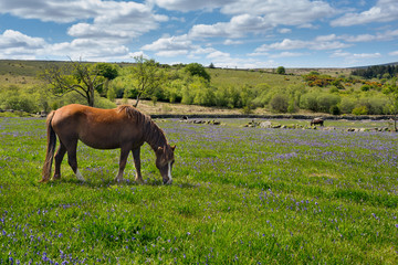 Pony grazing on bluebell field, Dartmoor, Devon Uk
