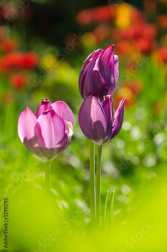 Three violet tulips in garden
