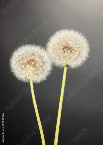 Dandelions on grey background - 52983944