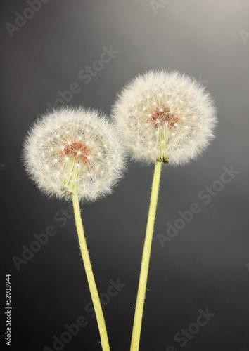 dandelions-na-szarym-tle