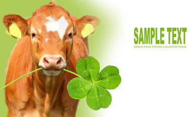 Funny calf with four leaf clover.