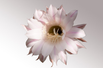 Into the flowerhead of an echinopsis