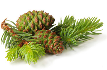 Green cones and fir tree isolated on white