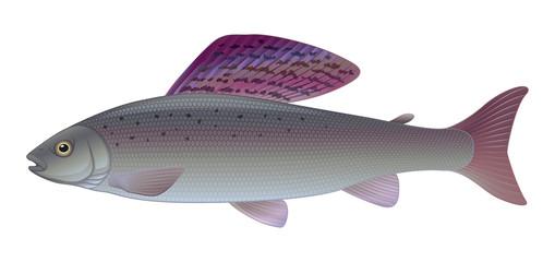 Grayling - (Thymallus thymallus) Freshwater Sport Angler Fish