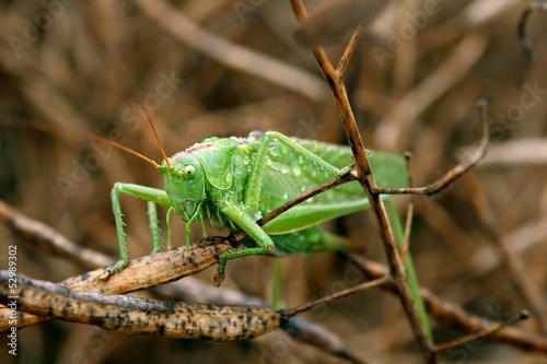 weibliches heupferd / female grasshopper
