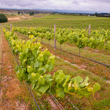 Organic Vineyard leaves in rows
