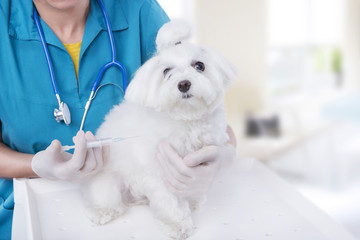 Vet with Maltese Breed puppy