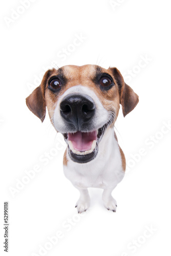 Smiling Jack Russel terrier dog.