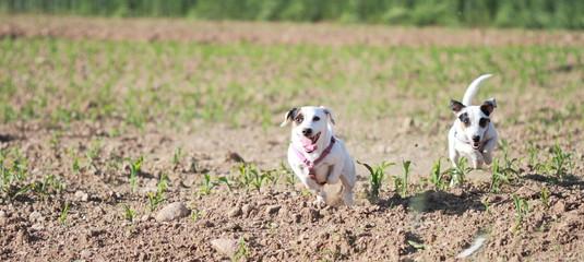 Cucciole di Jack Russell in un campo