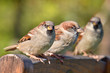 Group of House Sparrow