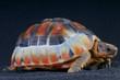 Bowsprit tortoise / Chersina angulata