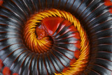 Red fire millipede / Aphistogoniulus corallipes