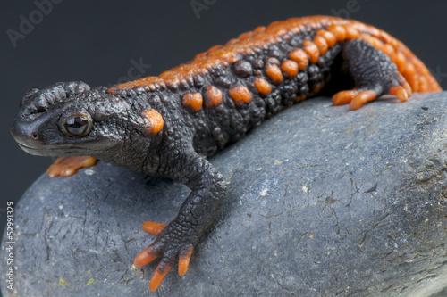 Crocodile newt / Tylototriton kweichowensis
