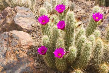 Scarlet Hedgehog Cactus Blooming