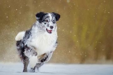 Australian Shepherd hat Spaß im Schnee