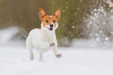 Jack Russell Terrier in Bewegung