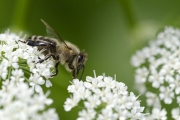 Honigbiene