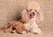 Poodle mother lying near puppy