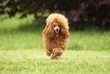 Toy Poodle puppy runs over the meadow
