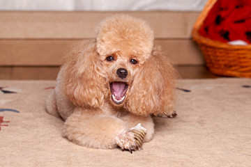 Poodle eat a dry bone