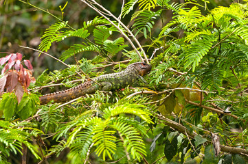 Caiman Lizard in a Rain Forest Tree