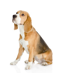 Beagle dog looking away and up. isolated on white background