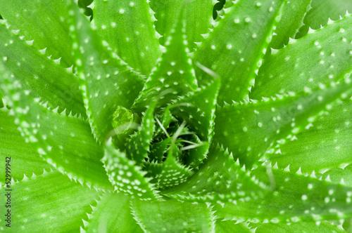 Aloe leaves closeup