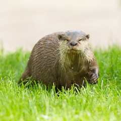 Wet otter is standing in the green grass