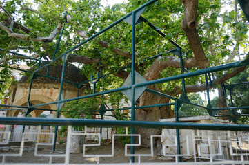 Plane Tree of Hippocrates in Kos town