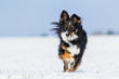 Border Collie Mix im Schnee