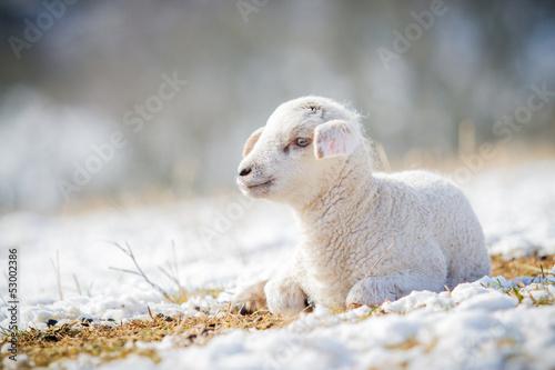 Fotobehang Schapen Lämmchen im Winter