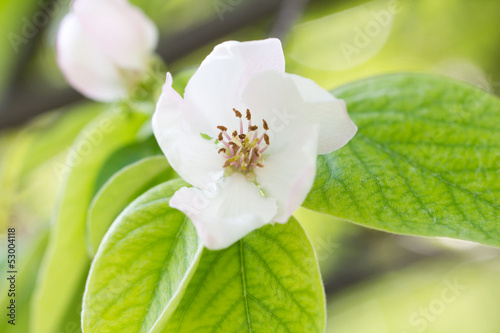 beautiful flowers in nature quince