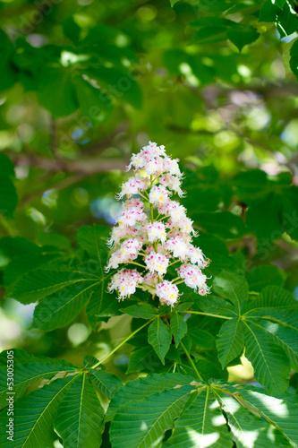 beautiful flowers of chestnut in nature