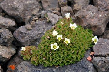Arctic flowers - Saxifraga cespitosa