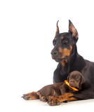 Doberman dog with puppy