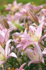 透明感のあるピンクのユリ