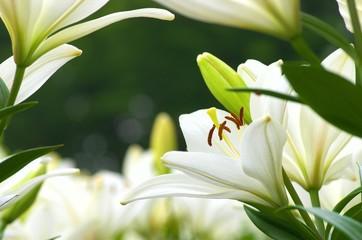 かわいい白のユリ