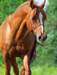 portrait of chestnut arabian horse in motion