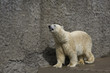 polar bear in a zoo