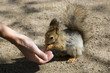 the red squirrel eats from a hand