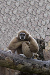 the gibbon sits having reflected