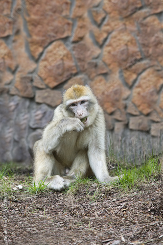 the monkey barbary chews a grass