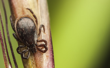 Dark brown tick on a plant stalk
