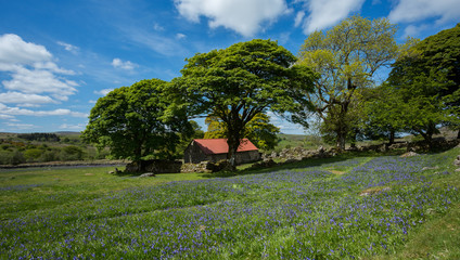 Bluebells at Emsworthy Dartmoor Devon Uk