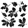 Oak branches with acorns, silhouettes - 53010947