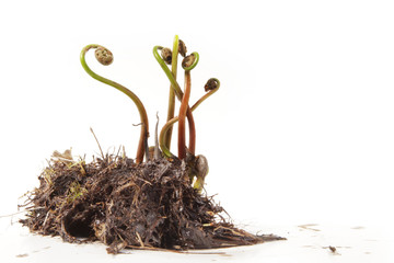 Fern Fiddleheads in Spring