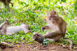 Macaque monkey in wildlife, Thailand