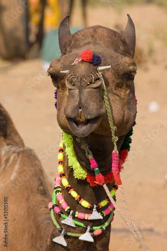 Camel at the Pushkar Fair in Rajasthan, India